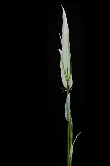 Phyllostachys Aurea 'Albovariegata' (Golden Bamboo, Fish-Pole Bamboo)-Paul Starosta-Photographic Print