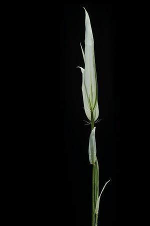 https://imgc.artprintimages.com/img/print/phyllostachys-aurea-albovariegata-golden-bamboo-fish-pole-bamboo_u-l-pzqx6d0.jpg?p=0