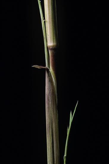 Phyllostachys Aureosulcata 'Aureocaulis' (Yellow Groove Bamboo) - Shoot-Paul Starosta-Photographic Print