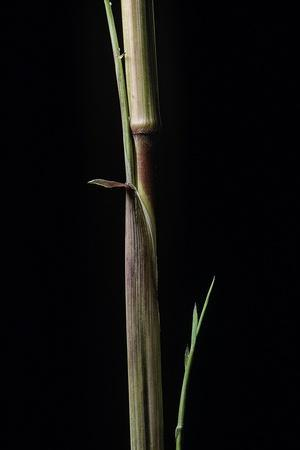 https://imgc.artprintimages.com/img/print/phyllostachys-aureosulcata-aureocaulis-yellow-groove-bamboo-shoot_u-l-pzqwwe0.jpg?p=0