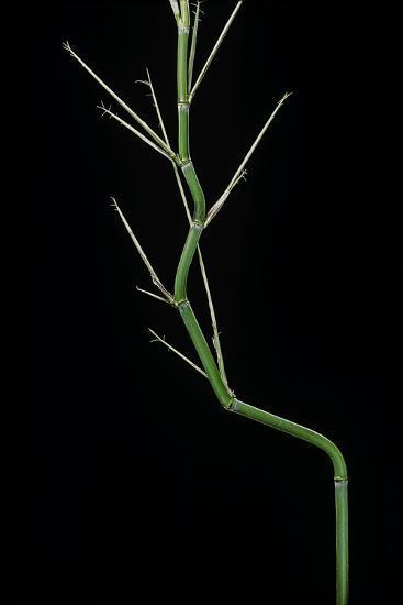 Phyllostachys Aureosulcata (Yellow Groove Bamboo) - Young Culm-Paul Starosta-Photographic Print