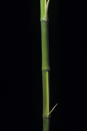 Phyllostachys Bambusoides 'Castillioni-Inversa' (Castillon Bamboo)-Paul Starosta-Photographic Print