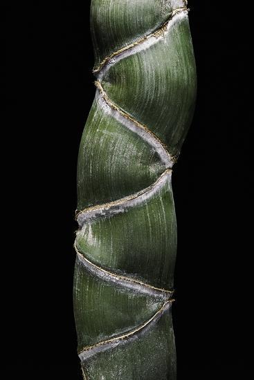 Phyllostachys Edulis Var. Heterocycla (Tortoiseshell Bamboo, Kikkouchiku)-Paul Starosta-Photographic Print