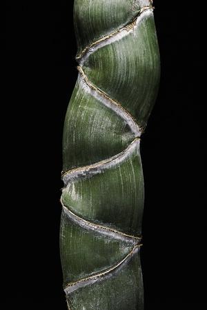 https://imgc.artprintimages.com/img/print/phyllostachys-edulis-var-heterocycla-tortoiseshell-bamboo-kikkouchiku_u-l-pzqovp0.jpg?p=0