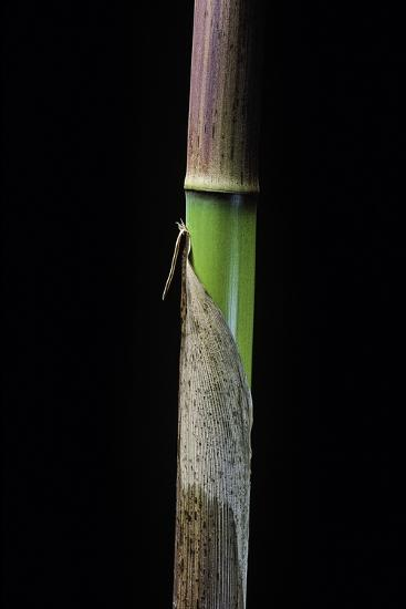 Phyllostachys Flexuosa (Sinuate Bamboo) - Young Culm-Paul Starosta-Photographic Print