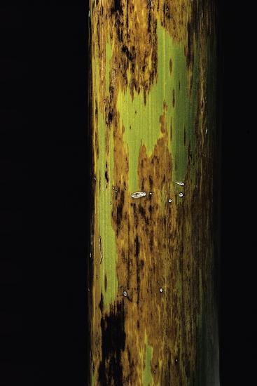 Phyllostachys Nigra 'Boryana' (Panther Bamboo)-Paul Starosta-Photographic Print