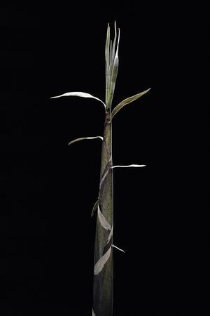 https://imgc.artprintimages.com/img/print/phyllostachys-propinqua-sand-bamboo-shoot_u-l-pzqo620.jpg?p=0