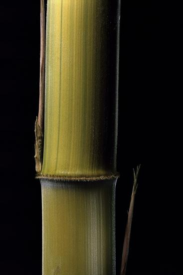 Phyllostachys Pubescens 'Bicolor' (Mosochiku Bamboo) - Joung Culm-Paul Starosta-Photographic Print