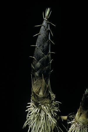 https://imgc.artprintimages.com/img/print/phyllostachys-pubescens-moso-bamboo-shoot_u-l-pzqoad0.jpg?p=0