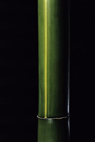 Phyllostachys Viridis 'Houzeau' (Houzeau Bamboo)-Paul Starosta-Photographic Print