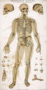 Physiological Diagram of the Skeleton and Ligaments
