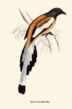 https://imgc.artprintimages.com/img/print/pica-vagabunda-a-century-of-birds-from-the-himalaya-mountains_u-l-q19r47f0.jpg?p=0