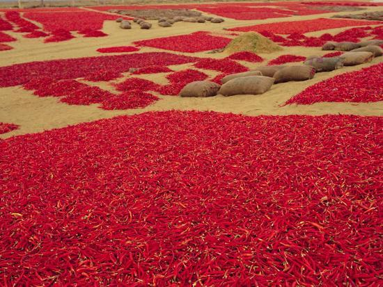 Picked Red Chilli Peppers Laid out to Dry, Rajasthan, India-Bruno Morandi-Photographic Print