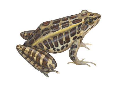 Pickerel Frog (Rana Palustris), Amphibians-Encyclopaedia Britannica-Art Print