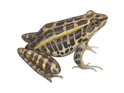 https://imgc.artprintimages.com/img/print/pickerel-frog-rana-palustris-amphibians_u-l-q135kjl0.jpg?p=0