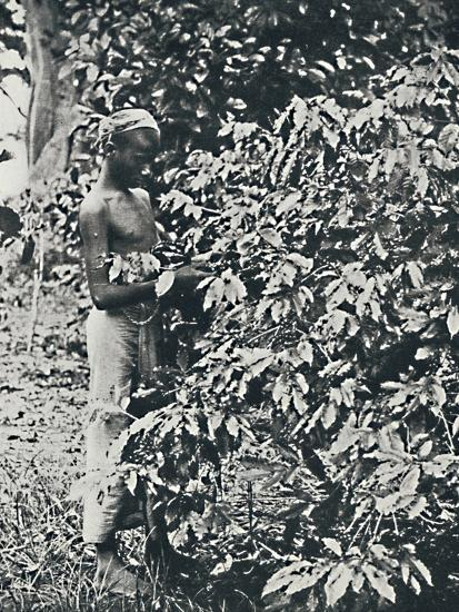 'Picking Coffee', 1916-Unknown-Photographic Print