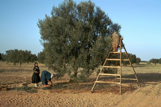 Picking olives in Tunisia. Artist: Unknown-Unknown-Photographic Print