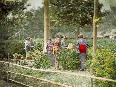 Picking Tea, C.1880--Photographic Print