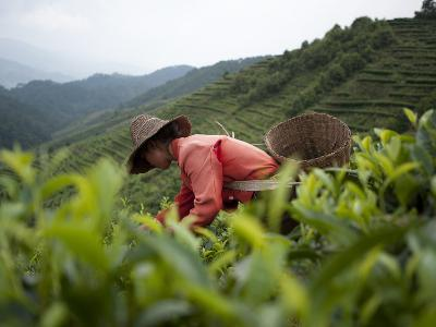 Picking Tea Leaves on a Puer Tea Estate in the Yunnan Province-Alex Treadway-Photographic Print