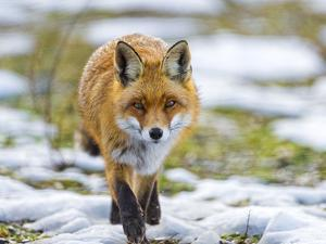 Fox Walking towards Me by Picture by Tambako the Jaguar