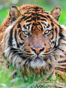 Male Sumatran Tiger by Picture by Tambako the Jaguar