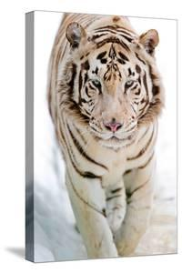 White Tiger by Picture by Tambako the Jaguar