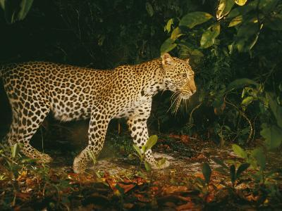 Picture of a Patrolling Leopard Taken by a Camera Trap-Michael Nichols-Photographic Print