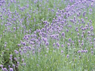 Picturesque Purple Lavender Flowers in Meadow