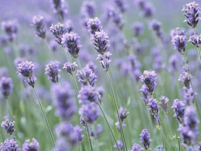 Picturesque Purple Lavender Flowers in Meadow--Photographic Print