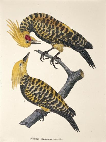 Picus Flavescens--Giclee Print