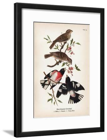 Vintage Birds: Rose-Breasted Gosbeak, Plate 35