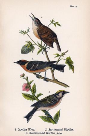 Vintage Birds: Wrens and Warblers, Plate 73