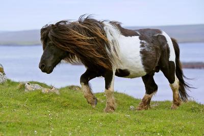 Piebald Shetland Pony Magnificent Leading Stud--Photographic Print