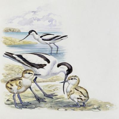 Pied Avocet (Recurvirostra Avosetta) with Chicks, Recurvirostridae--Giclee Print