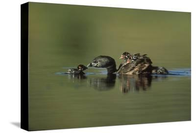 Pied-billed Grebe parent with two chicks on its back and one learning to swim, New Mexico-Tim Fitzharris-Stretched Canvas Print