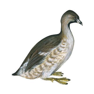 Pied-Billed Grebe (Podilymbus Podiceps), Birds-Encyclopaedia Britannica-Art Print