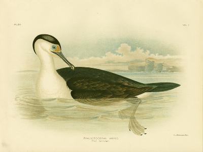Pied Cormorant, 1891-Gracius Broinowski-Giclee Print