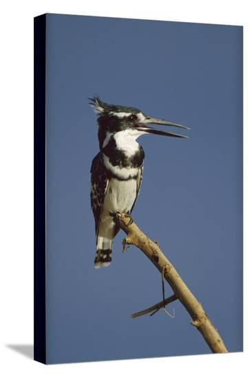 Pied Kingfisher calling, Kenya-Tim Fitzharris-Stretched Canvas Print