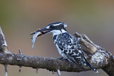 Pied Kingfisher (Ceryle Rudis) with a Fish, Kruger National Park, South Africa, Africa-James Hager-Photographic Print