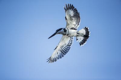 https://imgc.artprintimages.com/img/print/pied-kingfisher-chobe-national-park-botswana_u-l-pzqldl0.jpg?p=0