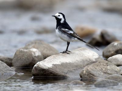Pied Wagtail Male Perched on Rock in Stream, Upper Teesdale, Co Durham, England, UK-Andy Sands-Photographic Print
