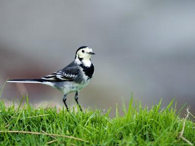 Pied Wagtail, Standing in Grass, Scotland-Elliot Neep-Photographic Print