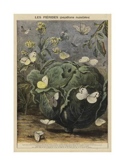 Pieridae--Giclee Print