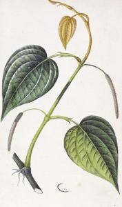 Betel, Botanical Plate, circa 1810 by Pierre Jean Francois Turpin