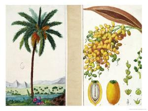 Date Tree and Fruit,Early Nineteenth Century by Pierre Jean Francois Turpin