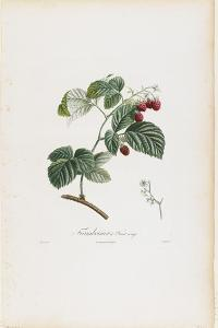 Framboisier a Fruit Rouge (Raspberries), from Traite Des Arbres Fruitiers, 1807-1835 by Pierre Jean Francois Turpin