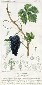 Grape Vine Botanical Plate, circa 1820 by Pierre Jean Francois Turpin