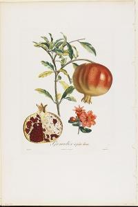 Grenadier a Fruit Doux, from Traite Des Arbres Fruitiers, 1807-1835 by Pierre Jean Francois Turpin