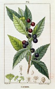 Laurel, Botanical Plate, c.1810 by Pierre Jean Francois Turpin