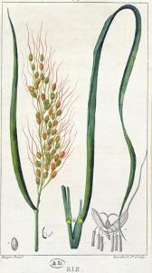 Rice, c.1820 by Pierre Jean Francois Turpin